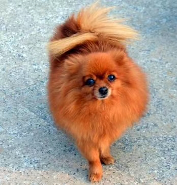 狗狗换季掉毛是啥人也收敛了不少原因